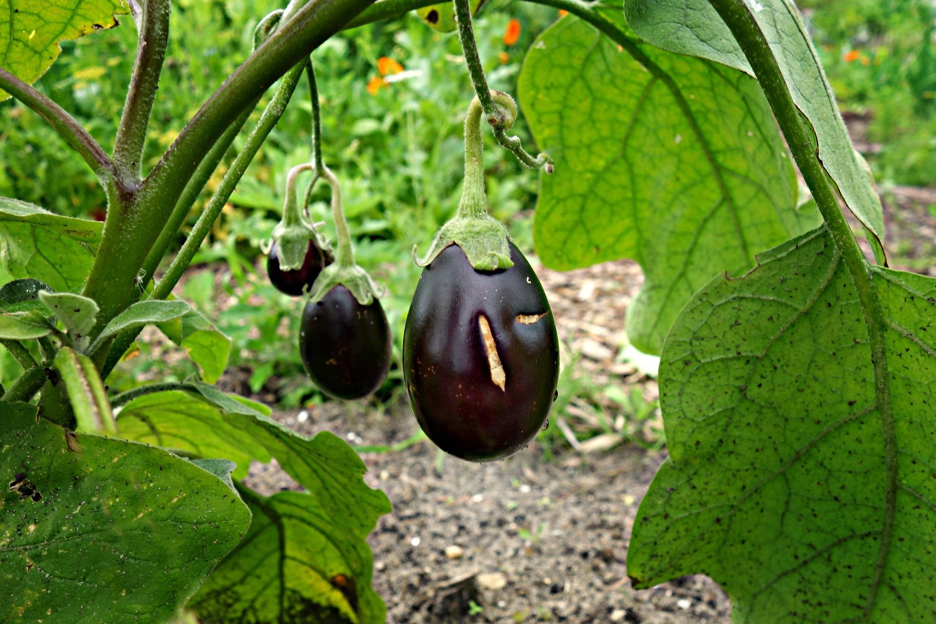 eggplant-1491949_1920