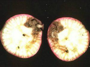 Larve de la mouche du navet dans un radis
