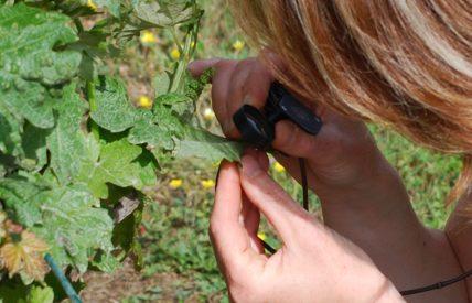 Observation d'une vigne avec une loupe