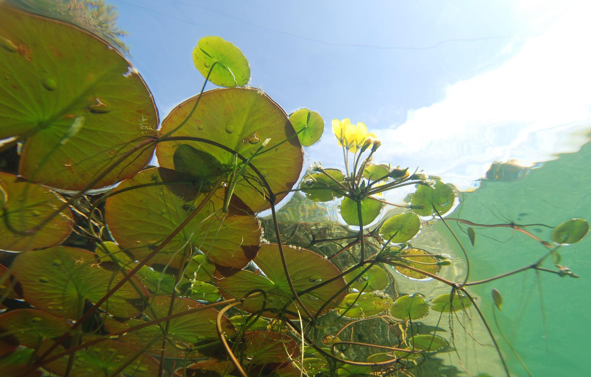 Le jardin aquatique jardiner autrement for Nettoyer feuilles plantes