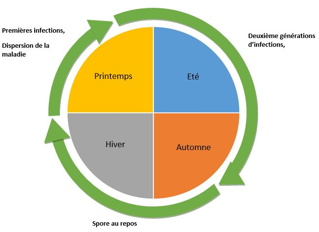 cycle de développement hernie du chou