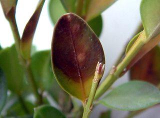 Cylindrocladium buxicola (c) Fredon Aquitaine