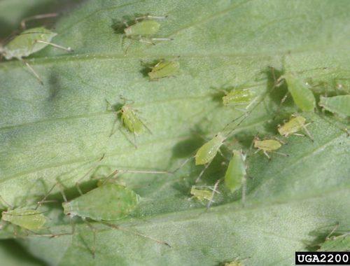 Colonie puceron Acyrthosphon pisum sur feuille