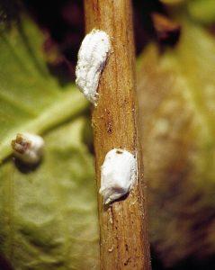 Cochenilles pulvinaires de l'hortensia Eupulvinaria hydrangea