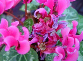 Symptômes sur fleurs de cyclamen (c) F. Marque / UPJ