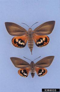Adulte du papillon palmivore