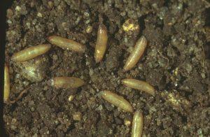 Pupe de mouche de la carotte dans le sol