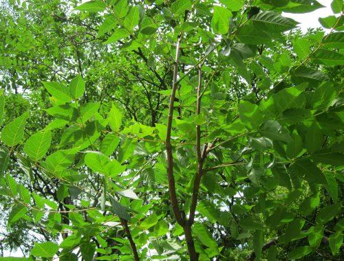 ailanthus-altissima