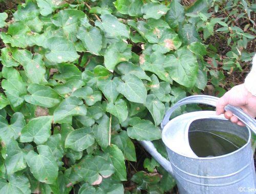 Arrosage au pied des plantes