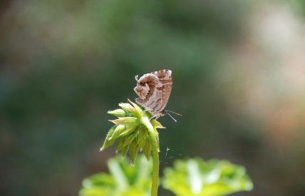 Brun du geranium (c) G. Carcasses