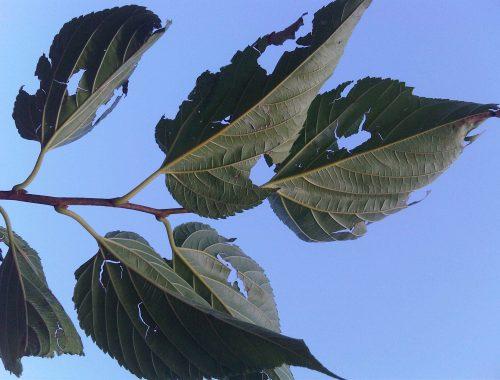 Dégats de grêle sur des feuilles de mûrier