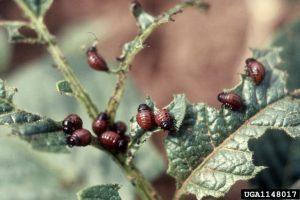 Larves de doryphore et dégâts sur plant de pomme de terre
