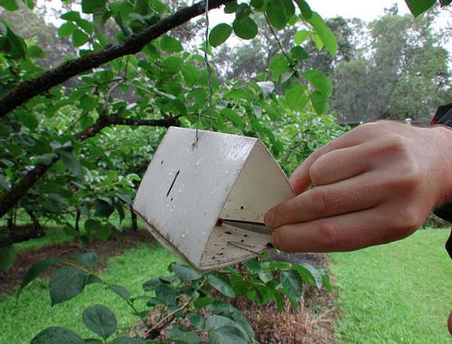 Utilisation d'un piège à phéromones dans un verger