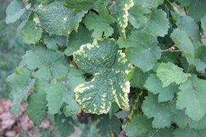 Symptome carence feuille de vigne