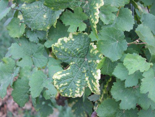 Symptome carence feuille de vigne (c) Jardiner Autrement