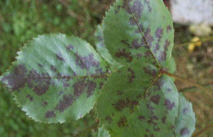 Symptomes maladie des taches noires du rosier (c) F. Marque,