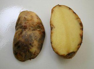 Symptômes mildiou sur pomme de terre