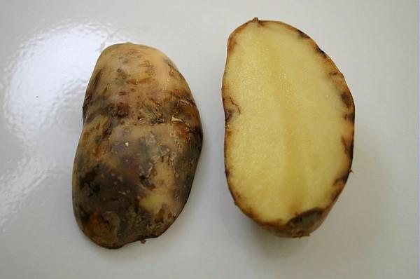 Pomme de terre mildiou jardiner autrement - Maladie de la pomme de terre ...