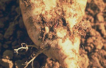Larve et pupe dans une galerie superficielle sur navet (c) SRPV Caen
