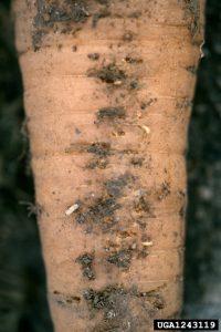 Dégâts de mouche de la carotte