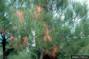 Dégâts sur pin sylvestre