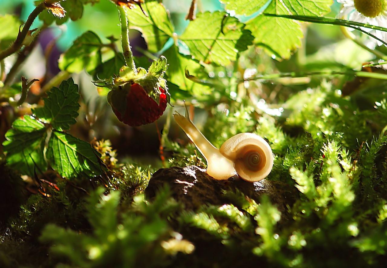 Les plants de fraisiers à même le sol sont un régal pour les gastéropodes. Une bâche noire percée contribue à limiter les pertes.