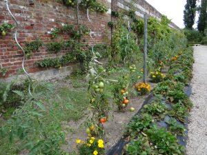 Le voisinage de l'œillet d'Inde est bénéfique pour la tomate