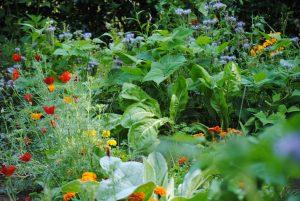 Phacélie, bourrache, coquelicots et soucis accompagnent les légumes
