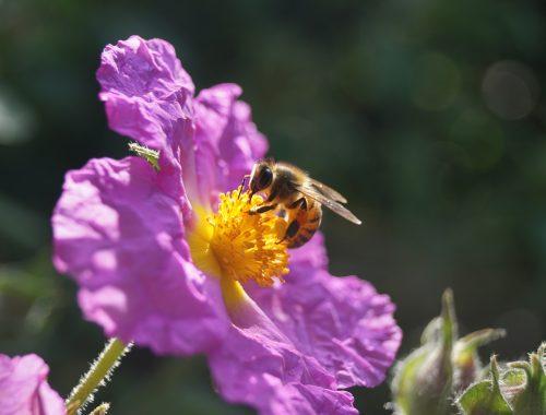 les abeilles sont plus sensibles aux pesticides