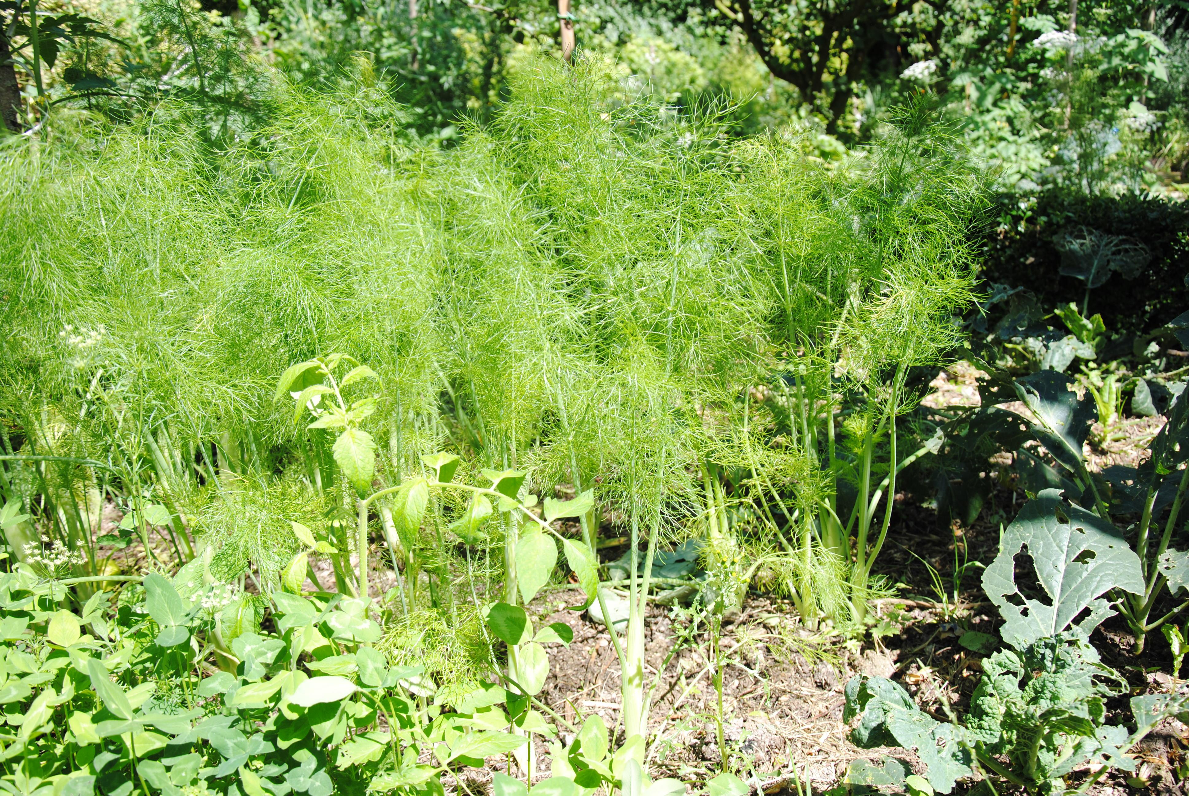 le-grignotage-de-quelques-feuilles-de-brocolis-ne-saurait-remettre-en-cause-labsence-de-tout-traitement-chimique-c-a-guillaumin
