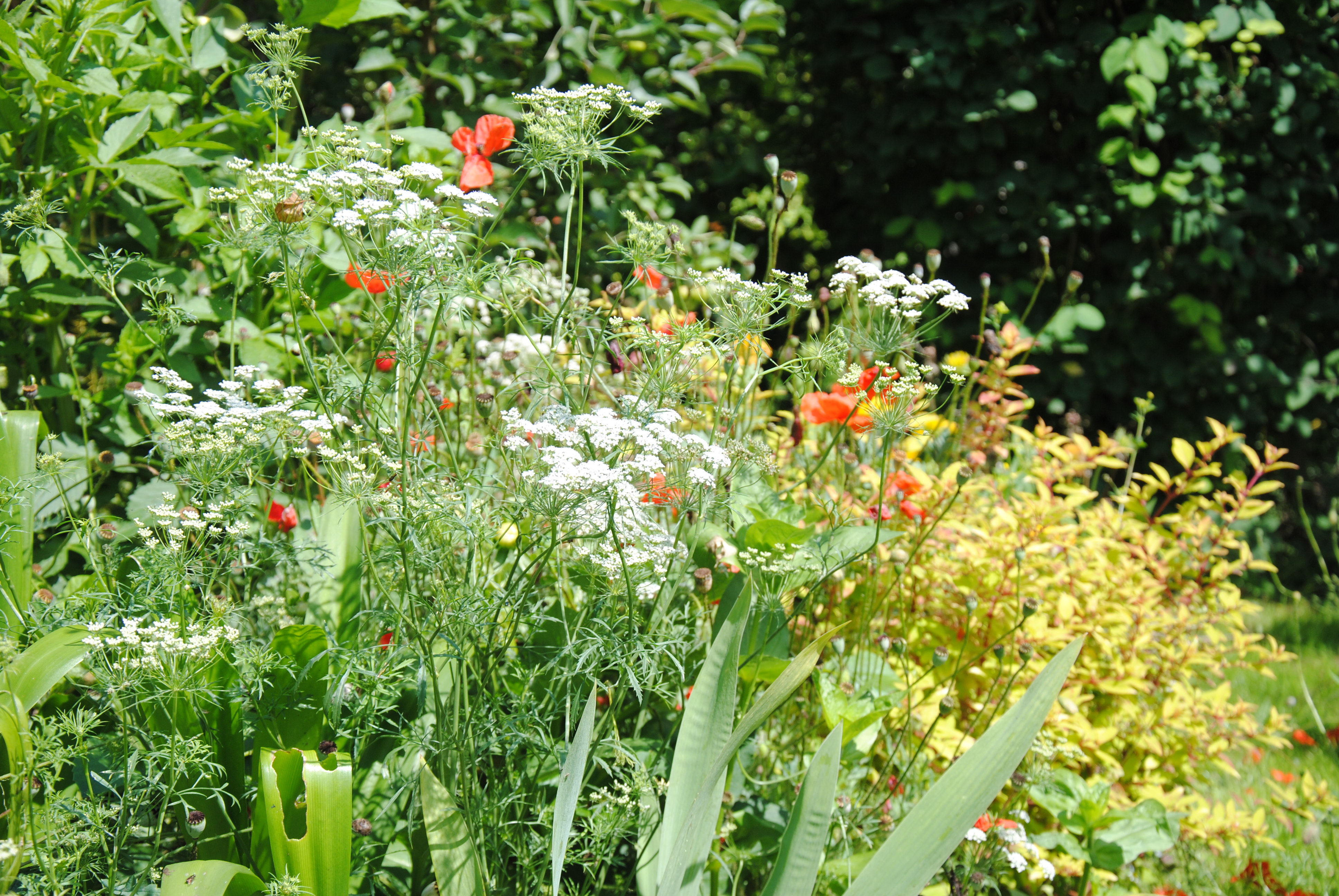 les-plantes-ont-ete-choisies-selon-leur-capacite-a-attirer-les-auxiliaires-c-a-guillaumin