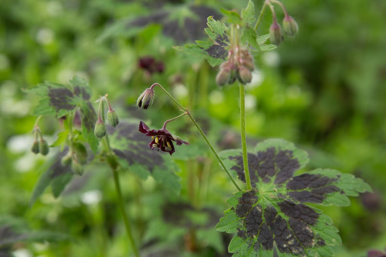 Geranium rheum : il se ressème tout seul