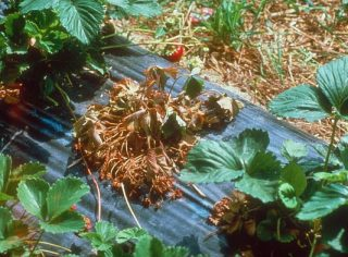 fraisier phytophtora jardiner autrement. Black Bedroom Furniture Sets. Home Design Ideas