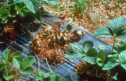 Plant de fraisier attaqué par phytophthora (c) INRA