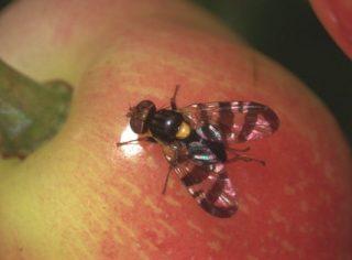 Mouche de la cerise femelle sur fruit (c) Coutin R.
