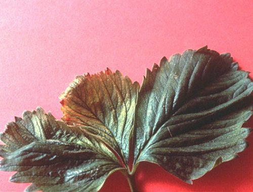 Attaque sur feuille de fraisier (c) ACTA, HYPPZ