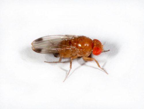 Drosophile asiatique mâle (c) Martin Hauser Phycus, Licence CC BY 3.0.