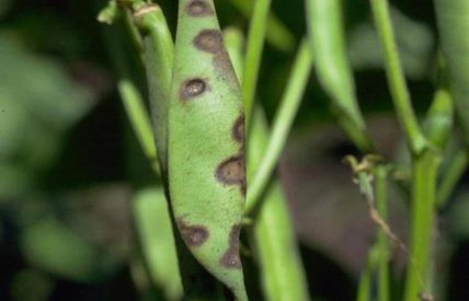 Anthracnose sur haricot (c) Howard F. Schwartz, Colorado State University, Bugwood.org