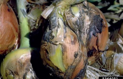 Botrytis de l'oignon (c) Howard F. Schwartz, Colorado State University, Bugwood.org