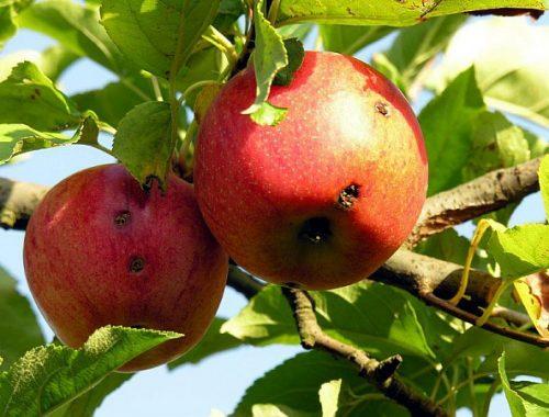 Dégats sur pommes de carpocapse (c) INRA