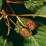 Dégâts de moniliose sur cerise (c) INRA