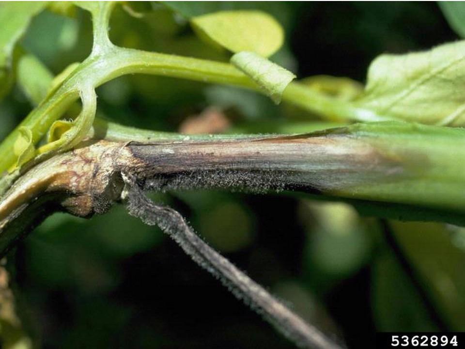 Chancre sur tige - mildiou pomme de terre (c) Howard F. Schwartz, Colorado State University, Bugwood.org