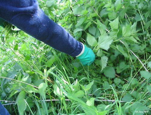 Cueillez des orties non montées en graines
