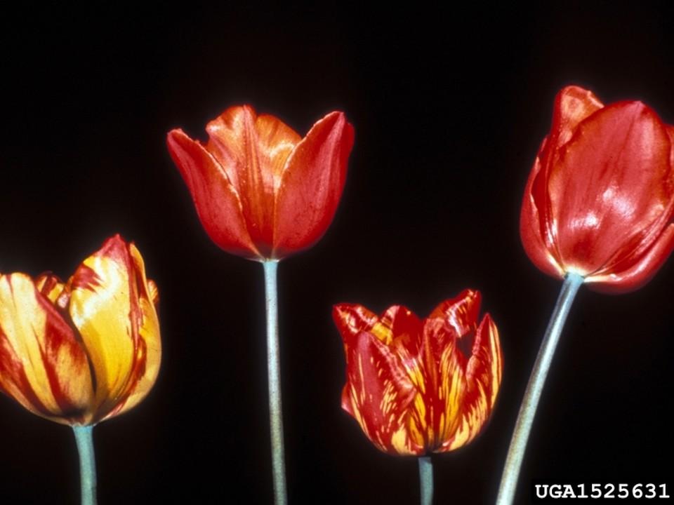 décoloration fleur de tulipe