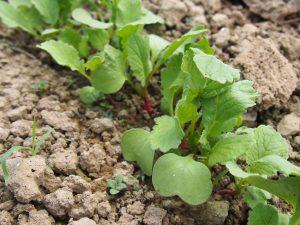 Plantez des radis avec vos enfants