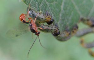 ichneumon pondant dans une larve de tenthrede (c) Gilles Carcasses