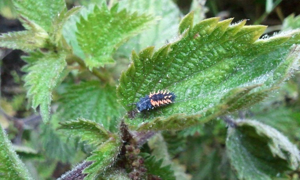 larve de coccinelle sur ortie