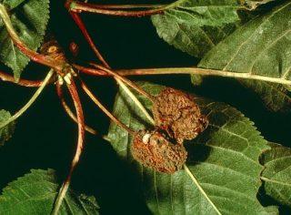 Moniliose du cerisier (c) INRA