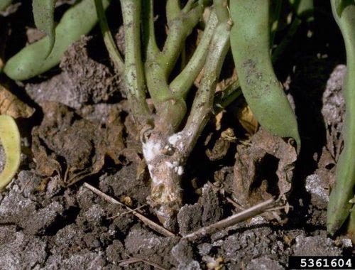 Pourriture blanche (c) Howard F. Schwartz, Colorado State University, Bugwood.org