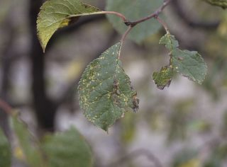 Rouille du prunier (c) INRA Dominique Blancard
